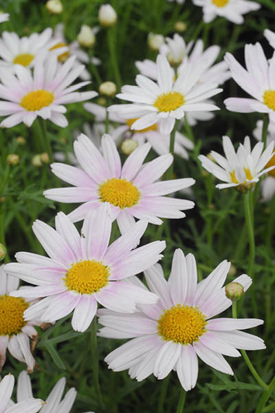 Tips On Growing Daisy Varieties Pro Landscaper Pro