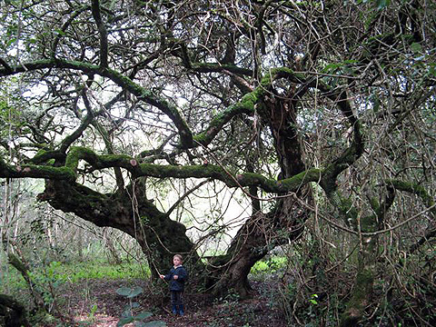 City protects ancient Milkwood trees in Gordon's Bay